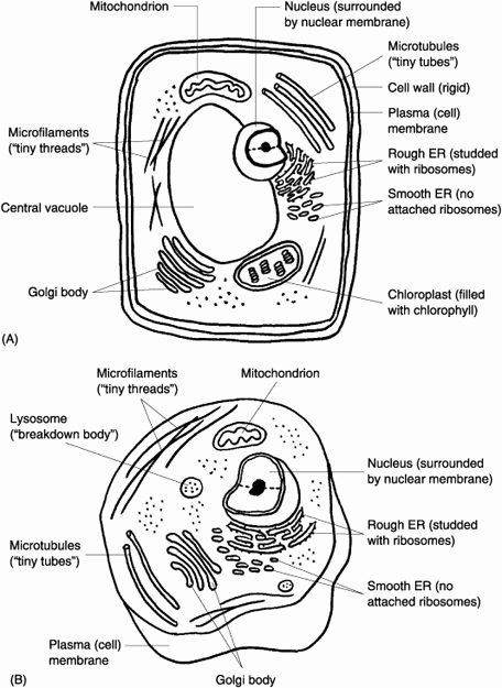 Animal Cell Plant Cell Worksheet