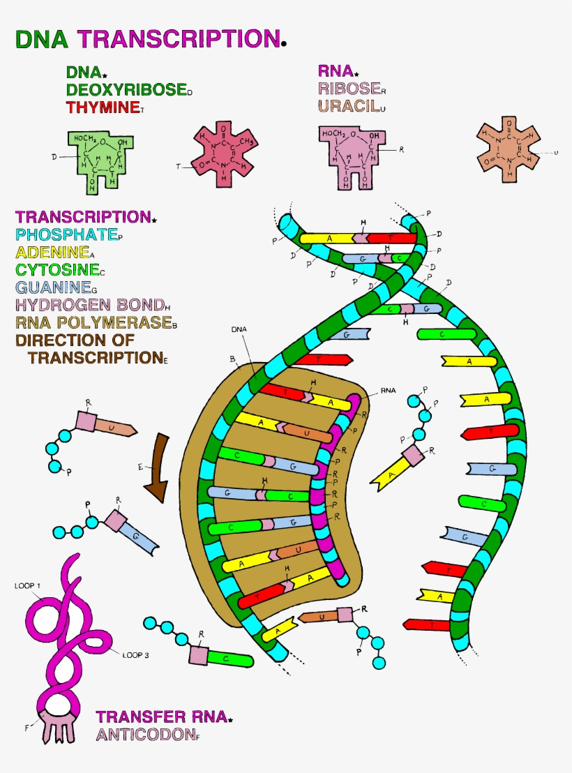 Dna Double Helix Coloring Worksheet