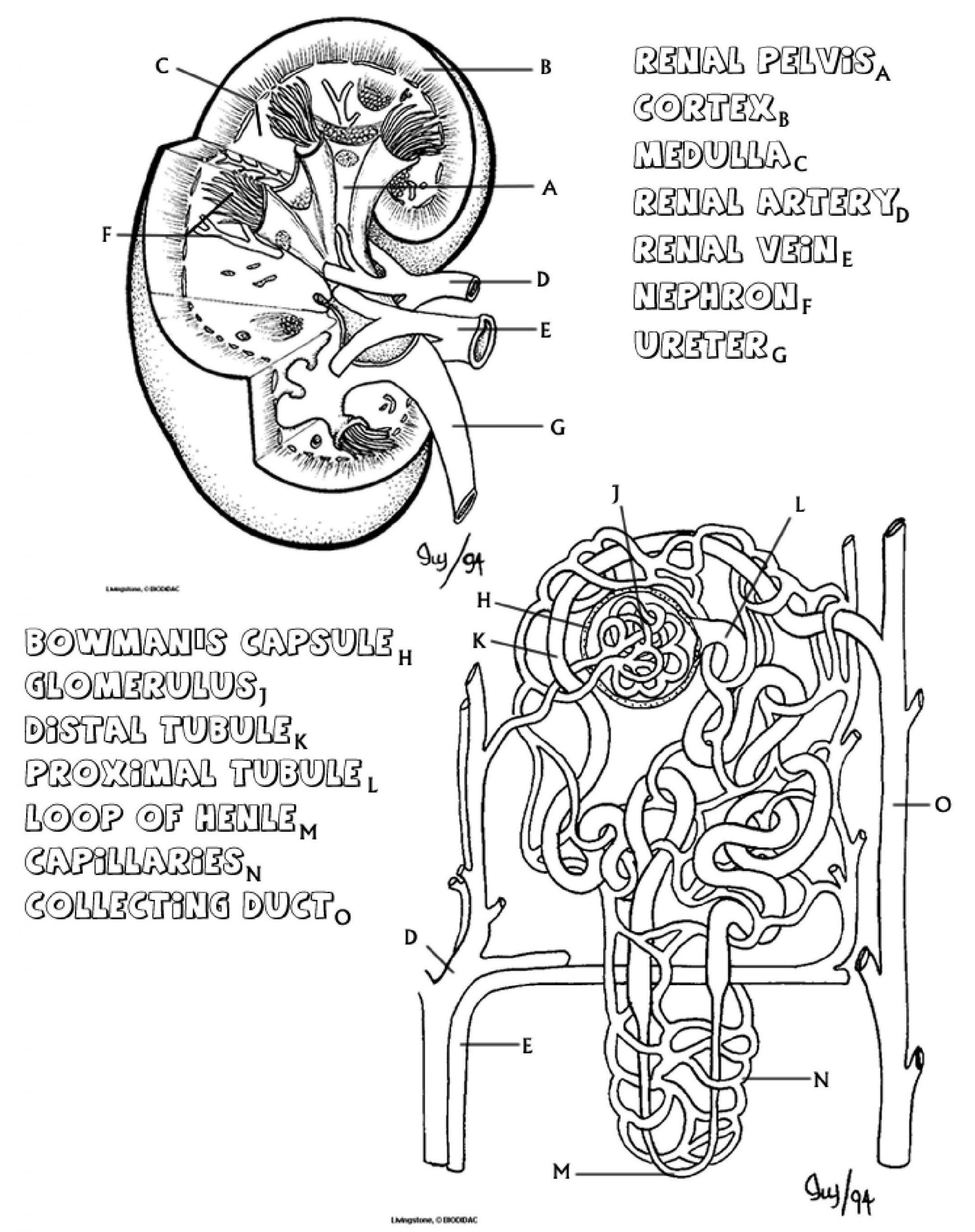 The Anatomy of the Kidney and Nephron Biology LibreTexts