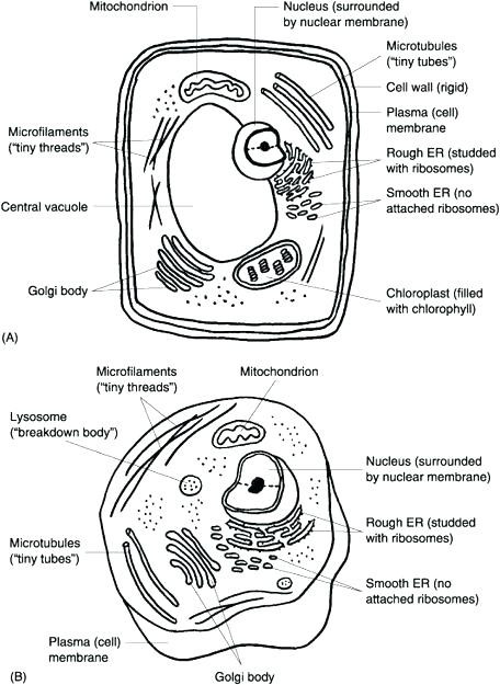 Label An Animal Cell Worksheet