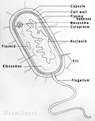 Prokaryote Coloring and Worksheet Answers